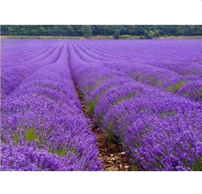 Natural Organic Lavender Water 250 ml