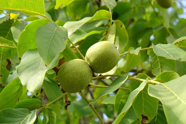 Walnut leaves 40 g