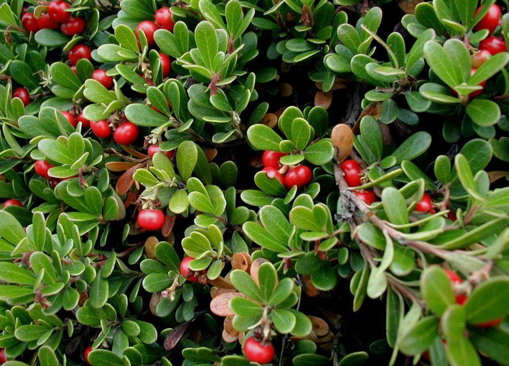 Bearberry leaf herbal tea 30 g